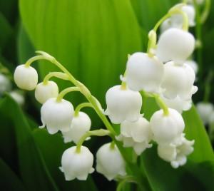 flower_suzuran